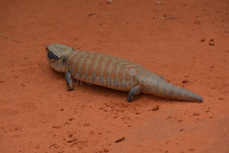 Australian Skink Lizard royalty free stock photos