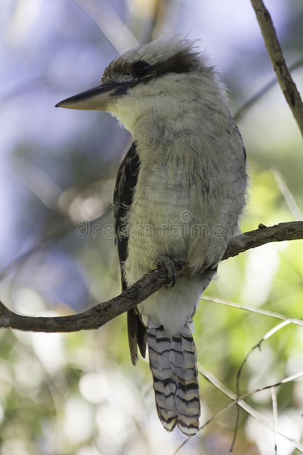 Australian Small bird Laughing kookaburra Dacelo novaeguineae stock photo