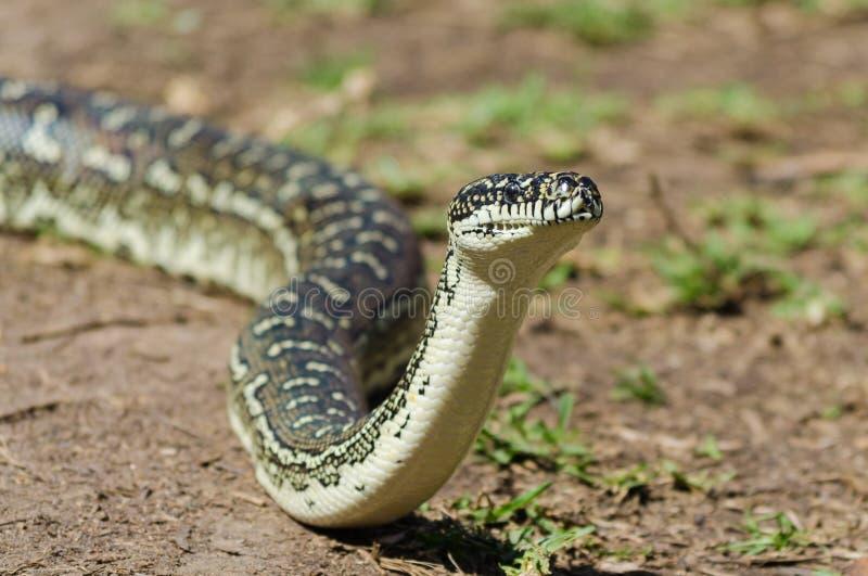 Australian Snake - Diamond Python Morelia Spilota stock images