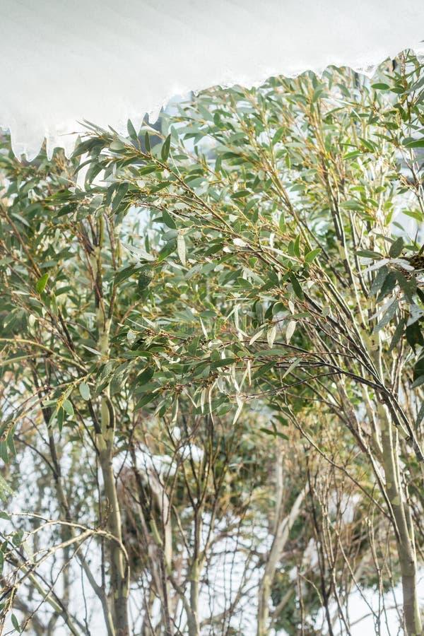 Australian snow gum trees. Mt Hotham royalty free stock photo