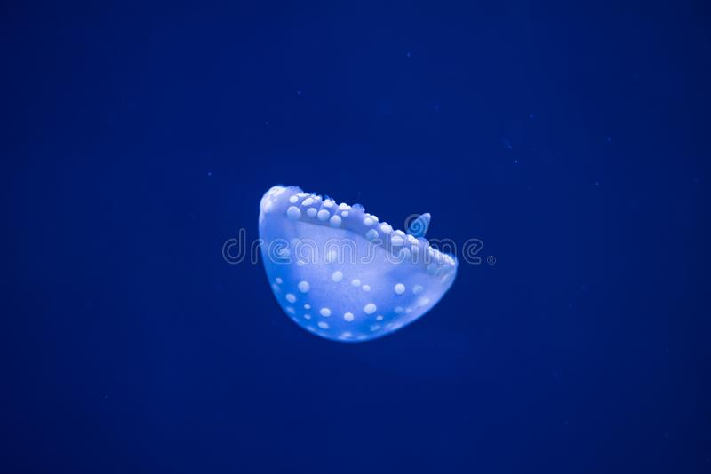 Australian Spotted Jellyfish floating upside down in vibrant blu royalty free stock photography