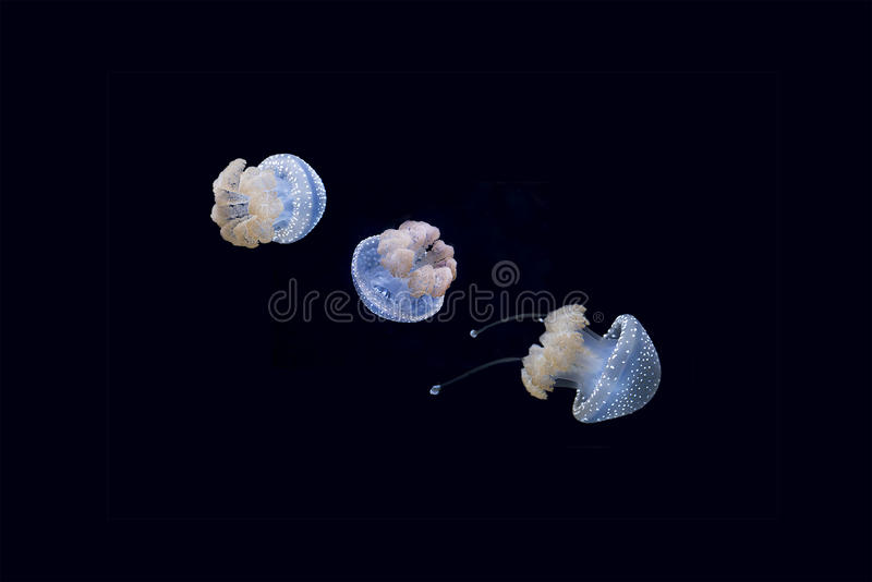 Australian Spotted Jellyfish stock images