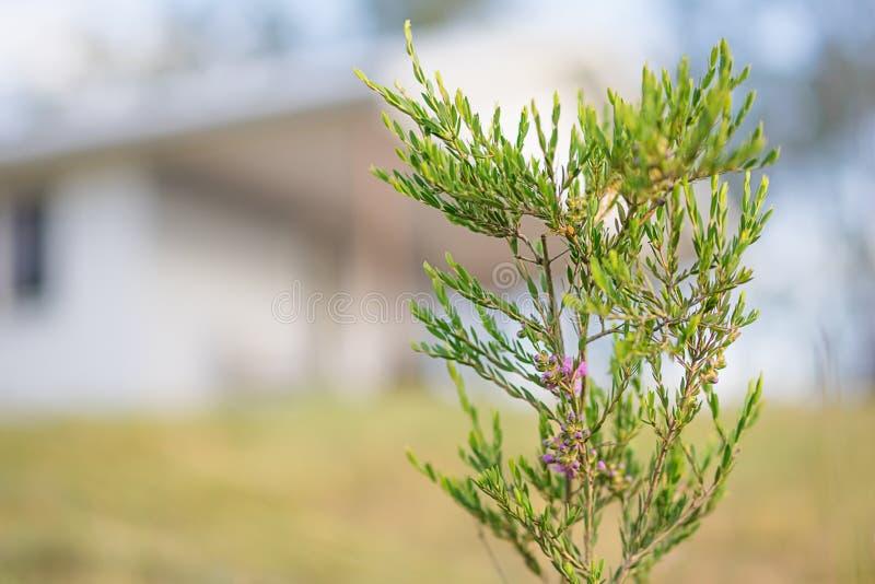 Australian Spring Wildflower Melaleuca Thymifolia Shrub. Against country cottage rural background royalty free stock photos