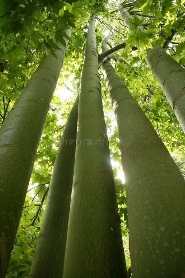 Download Australian Tall Trees Green Nature Stock Photo - Image: 12579320