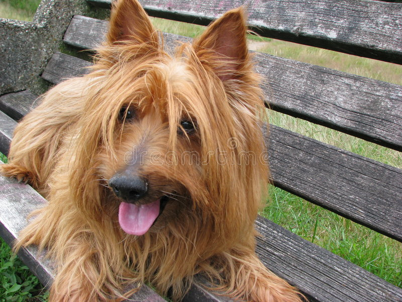 Australian Terrier dog close-up royalty free stock photo