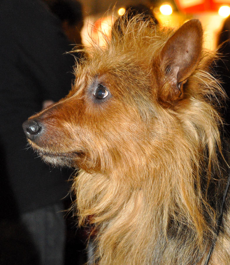 Download Australian Terrier dog stock photo. Image of friend, purebred - 39513160