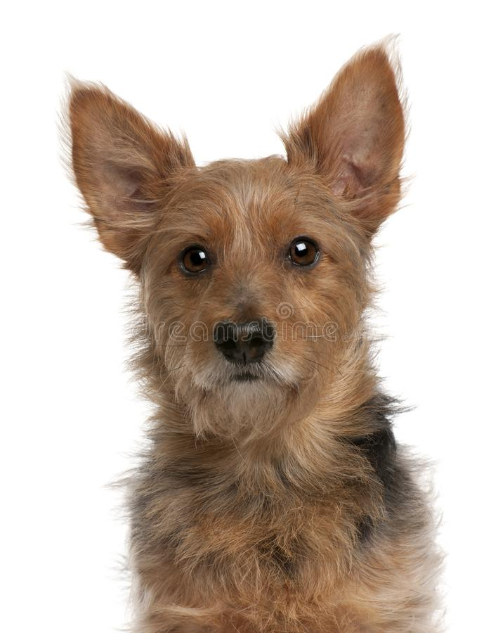 Australian Terrier dog, 9 years old royalty free stock photography
