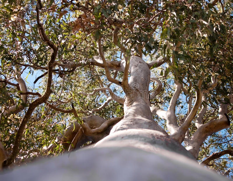Australian Tree  Forest Red Gum Eucalyptus