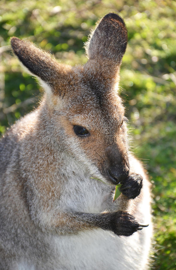 Australian Wallaby eating leaves royalty free stock photography