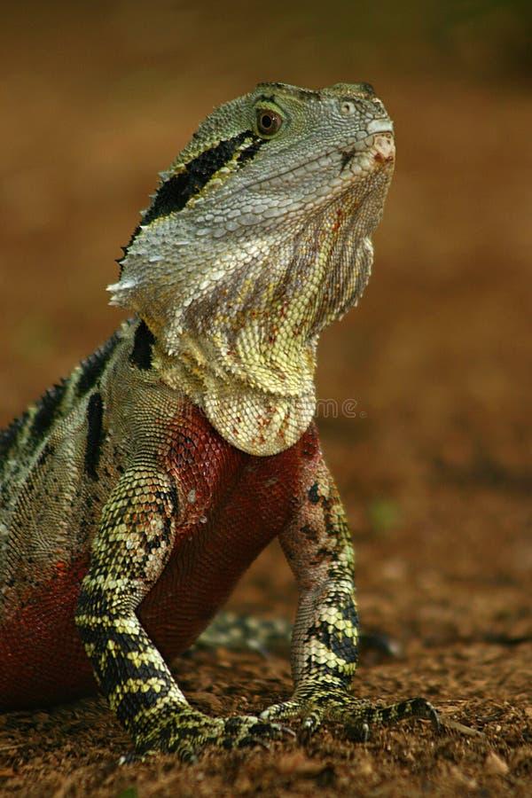 Download Australian Water Dragon stock image. Image of reptiles, water - 94115