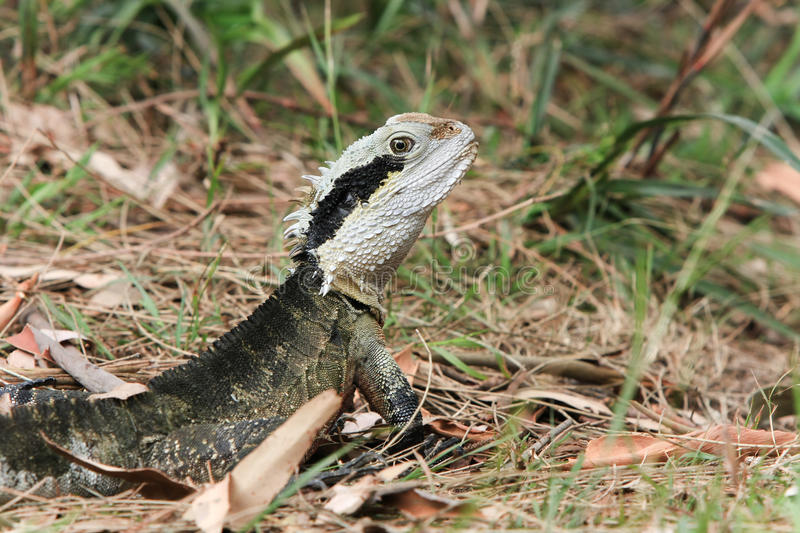 Australian Water Dragon, Alert In The Bush. Royalty Free Stock Photos