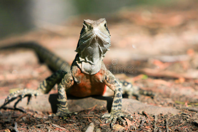 Download Australian Water Dragon, Alert In The Bush. Royalty Free Stock Photo - Image: 12403045