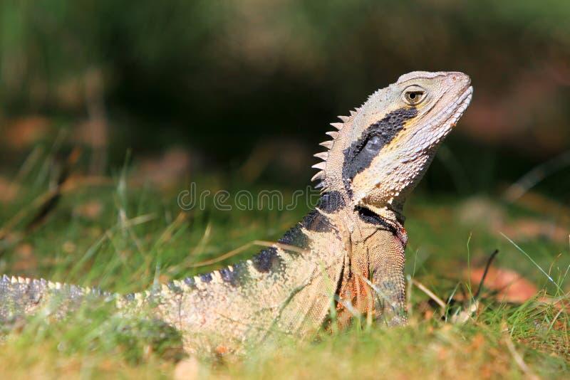 Download Australian Water Dragon, Alert In The Bush. Stock Photos - Image: 12403073