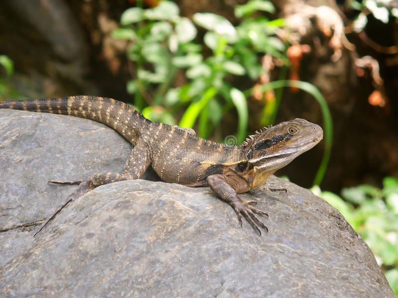 Australian Water Dragon (Physignathus lesueurii) stock photography