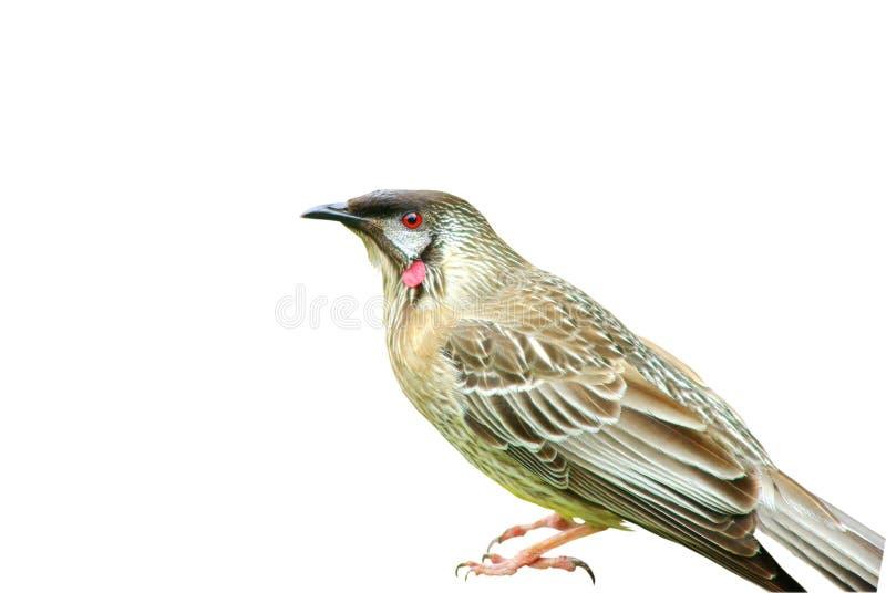 Download Australian wattle bird stock photo. Image of grey, up - 27842352