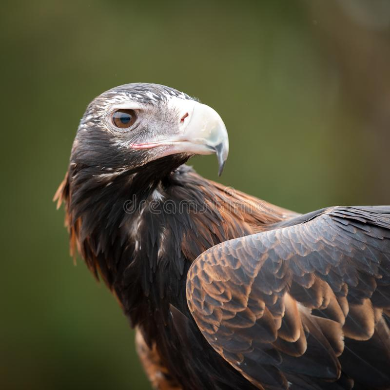 Australian Wedge Tailed Eagle - close up profile shot of head, face and wing royalty free stock photography
