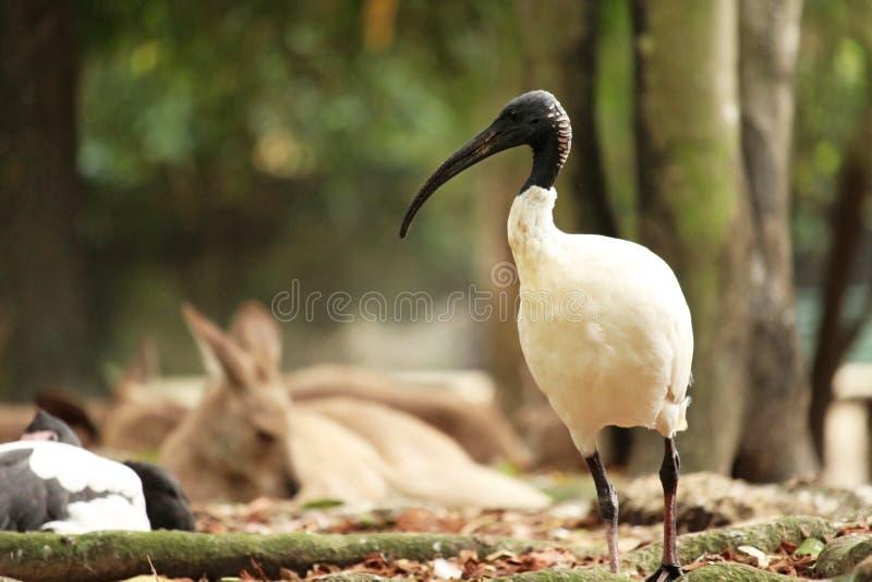 Australian white ibis stock photos