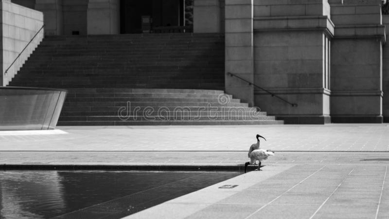 Australian white ibis in front of the Anzac Memorial stock photos
