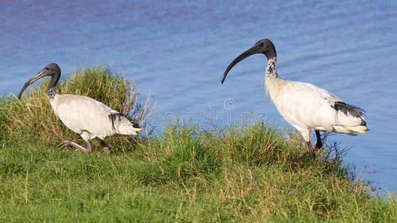 Australian White Ibis royalty free stock images