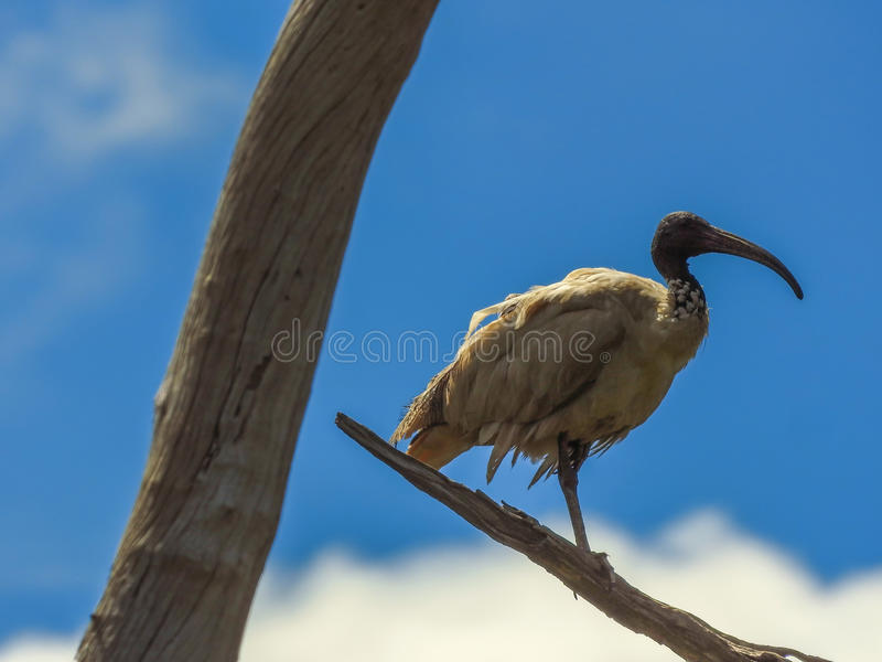 Australian White Ibis in the tree royalty free stock images