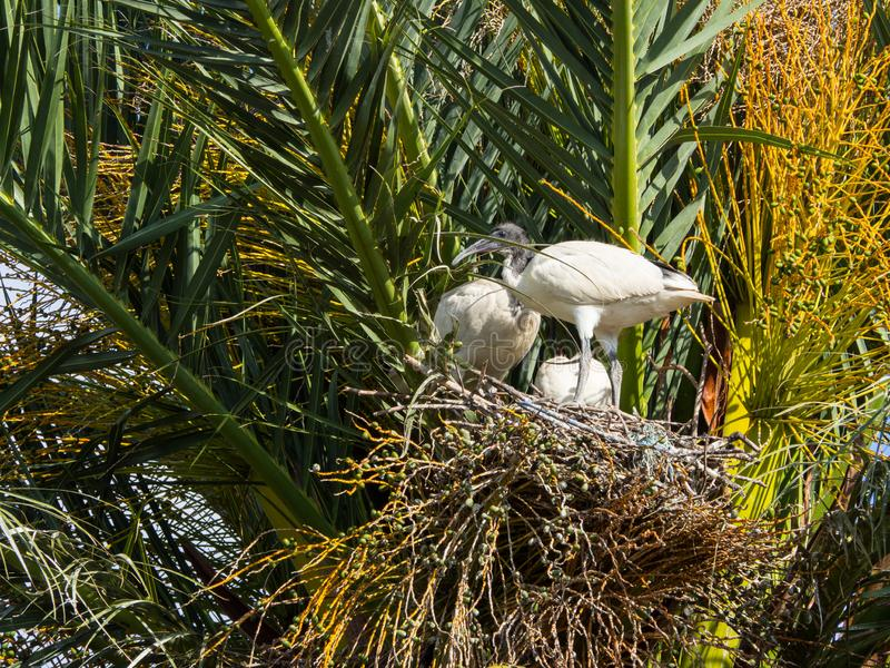The Australian white ibises bird nest on palm tree in new south wales, Australia forest. Australian white ibises bird nest on palm tree in new south wales royalty free stock image