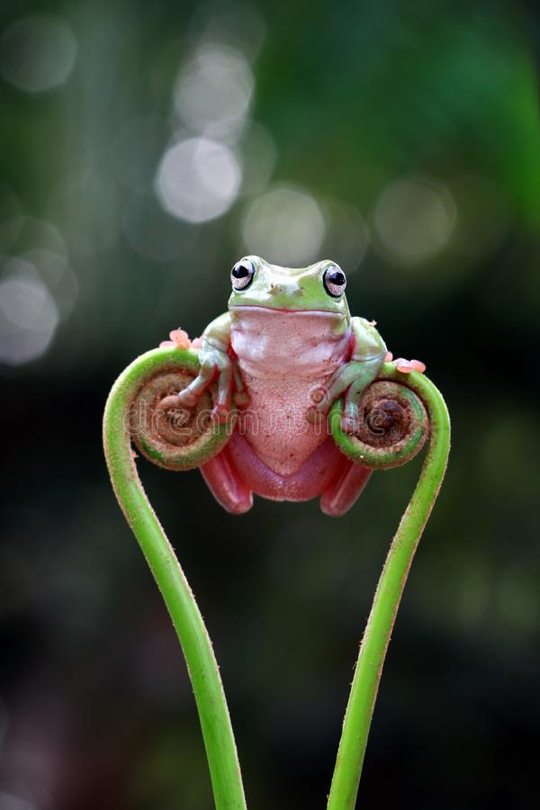 Free Australian White Tree Frog On Leaves, Dumpy Frog On Branch, Animal Closeup, Amphibian Closeup Royalty Free Stock Photo - 162383595