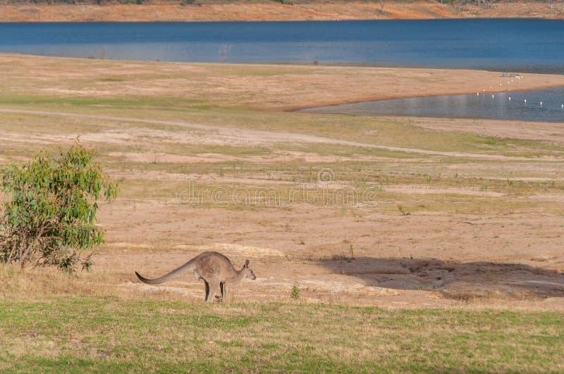 Australian wild kangaroo hopping in the outback. Near the lake royalty free stock image