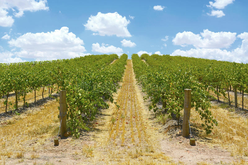 Rows of Grape Vines stock photography