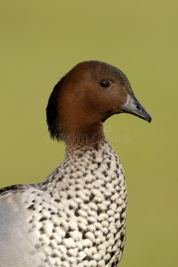 Australian wood duck or maned duck, Chenonetta jubata, stock photos