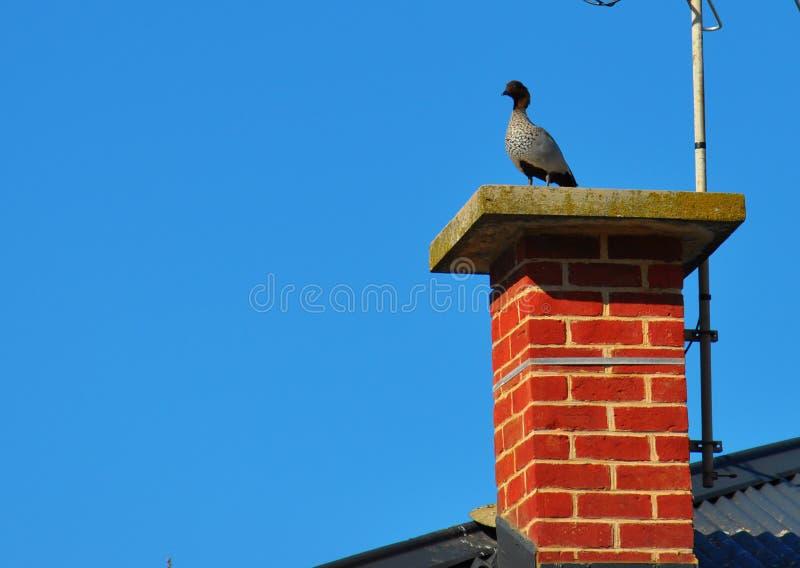 Australian Wood Ducks sitting on brick chimney.