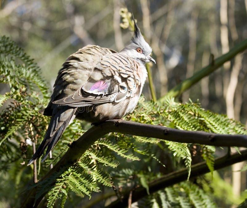Download Australian Wood pigeon stock image. Image of grey, endangered - 9165491