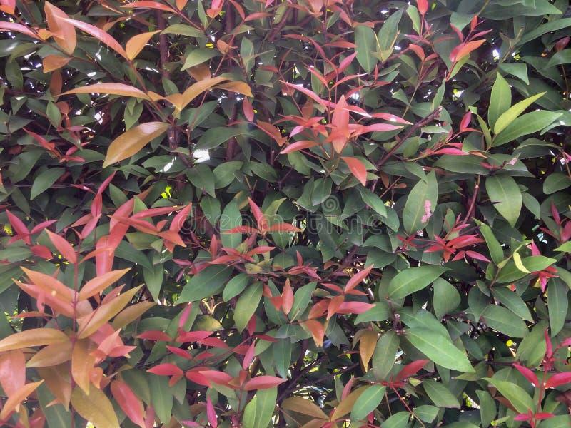 Australiano australe Rose Apple, ciliegia della spazzola, insenatura Lily Pilly, rastrelliera Satinash di sizigia fresca variopin immagini stock