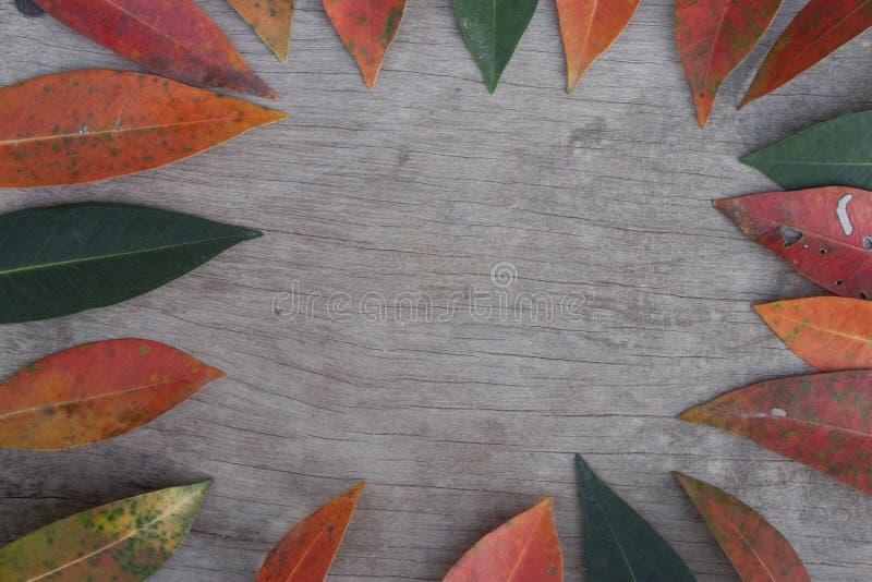 Australiano australe Rose Apple, ciliegia della spazzola, insenatura Lily Pilly, rastrelliera Satinash di sizigia fresca variopin fotografia stock libera da diritti