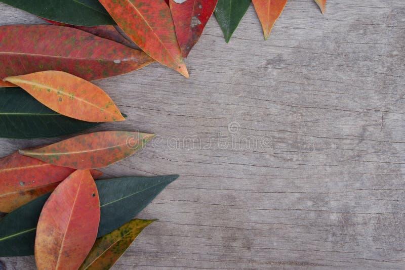 Australiano australe Rose Apple, ciliegia della spazzola, insenatura Lily Pilly, rastrelliera Satinash di sizigia fresca variopin immagini stock libere da diritti