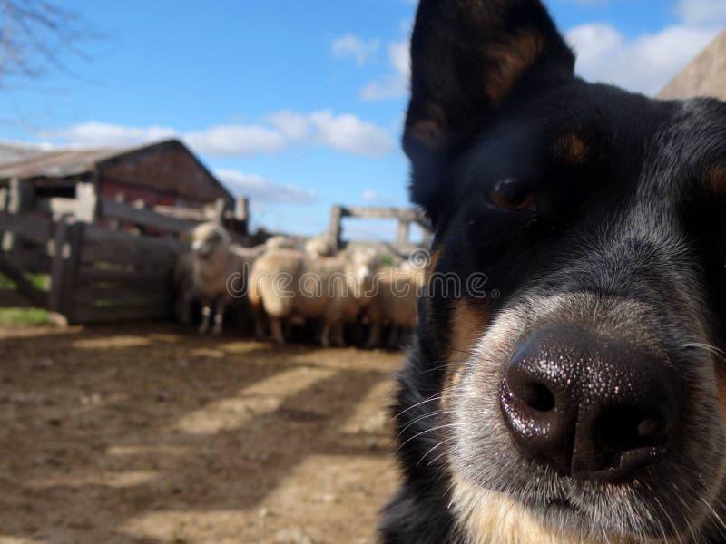 Australiano Cattledog fotografia stock