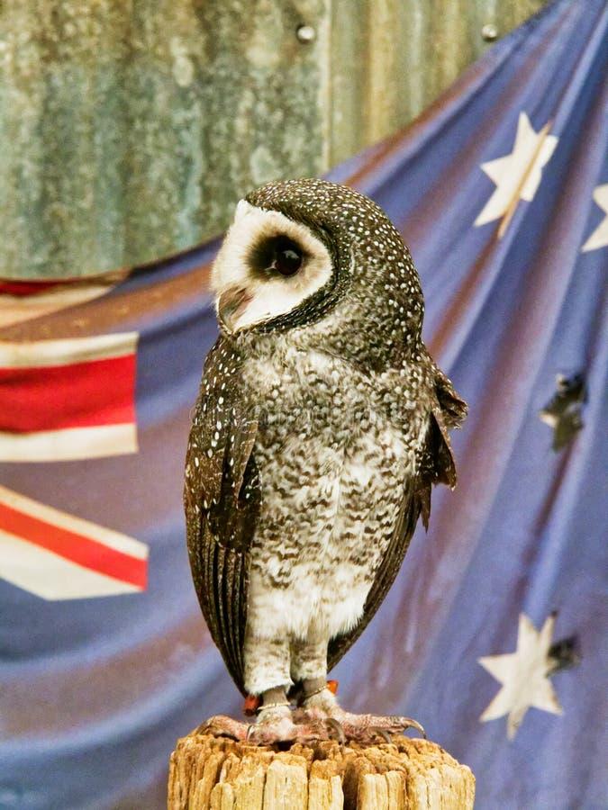 Australiano Lesser Sooty Owl Perched en la reserva de la fauna fotografía de archivo libre de regalías
