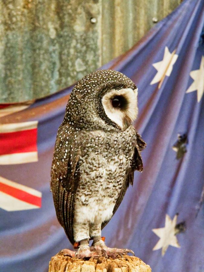Australiano Lesser Sooty Owl Perched en la reserva de la fauna imagen de archivo libre de regalías
