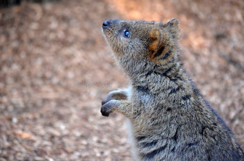 Australiano Quokka (pequeño canguro) fotografía de archivo libre de regalías