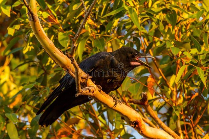 Australiano Raven Corvus Coronoides imagem de stock