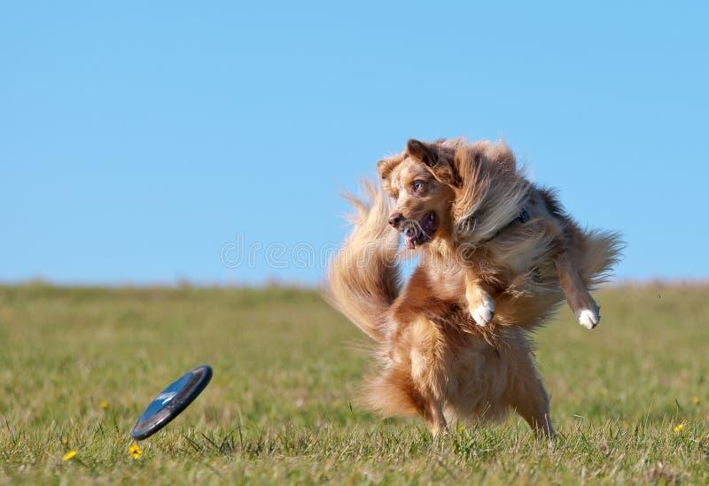 AustralianShepherd do cão com Frisbee fotos de stock royalty free