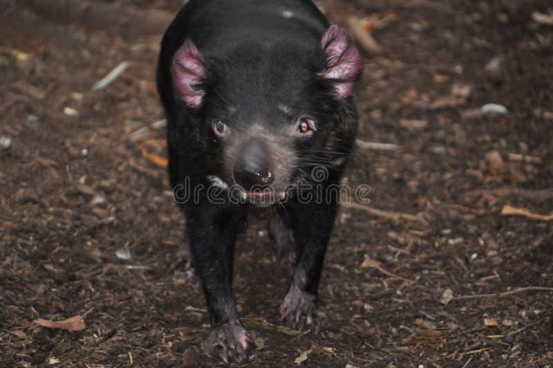 Australie de harrisii de Sarcophilus de diable tasmanien image stock
