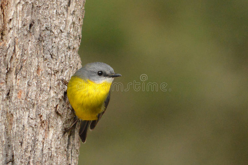 Australie jaune de Breasted Robin NSW photographie stock