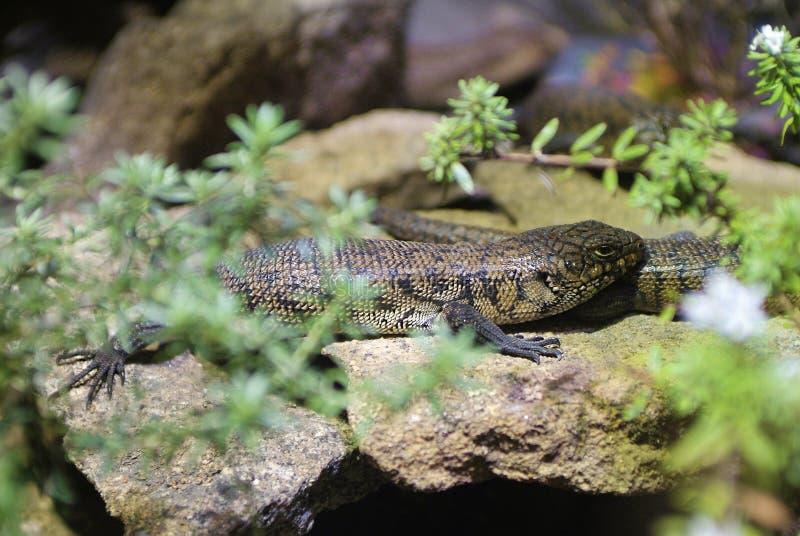 Australie, zoologie image libre de droits