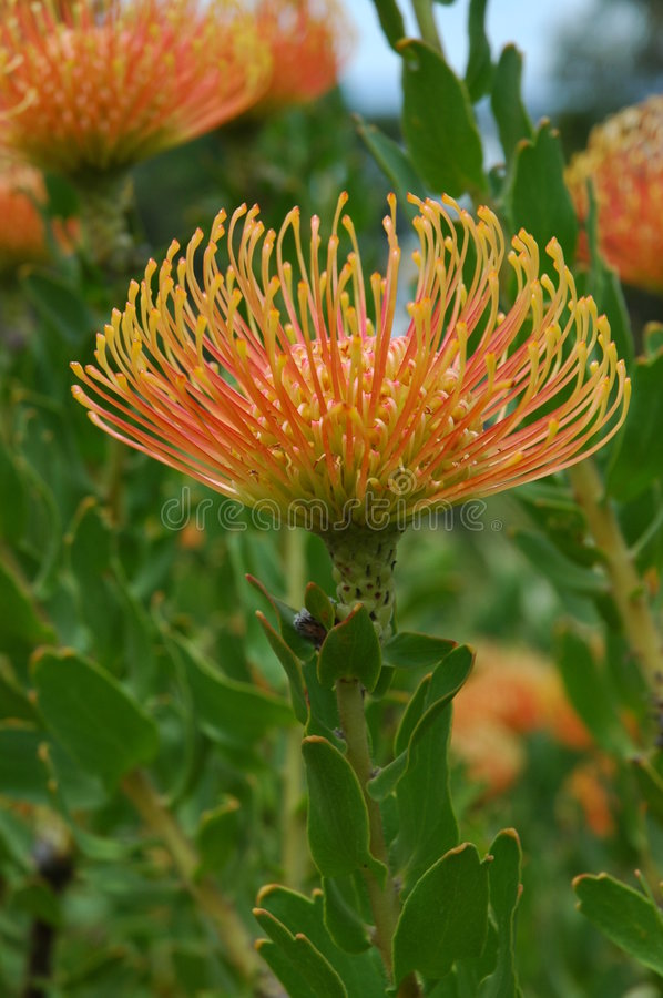 Australien-Blume lizenzfreies stockbild