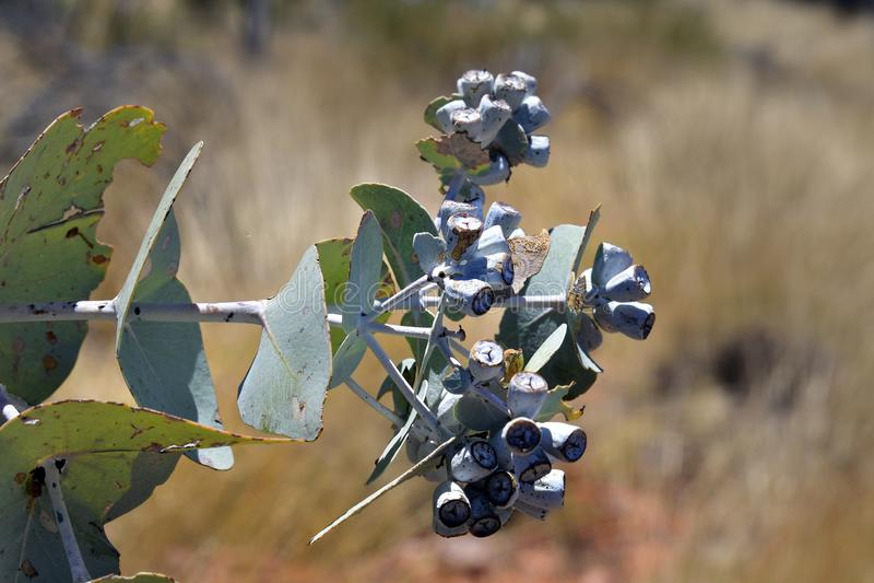 Australien botanik, eukalyptus royaltyfria foton