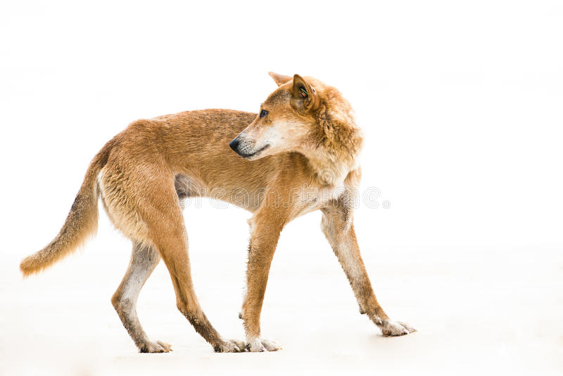 Australien dingo - wild dog -isolated on white royalty free stock photos