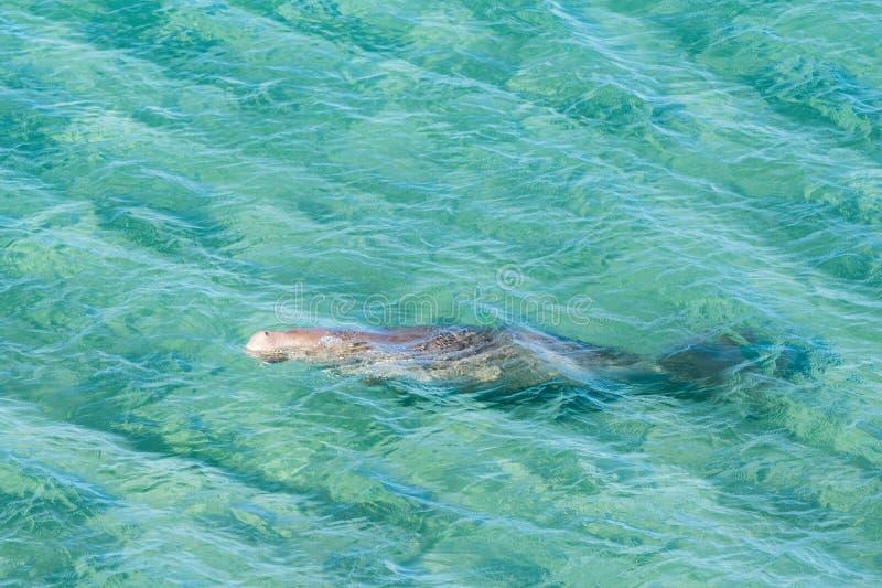 Australien dugong, medan simma på havsyttersida royaltyfri bild