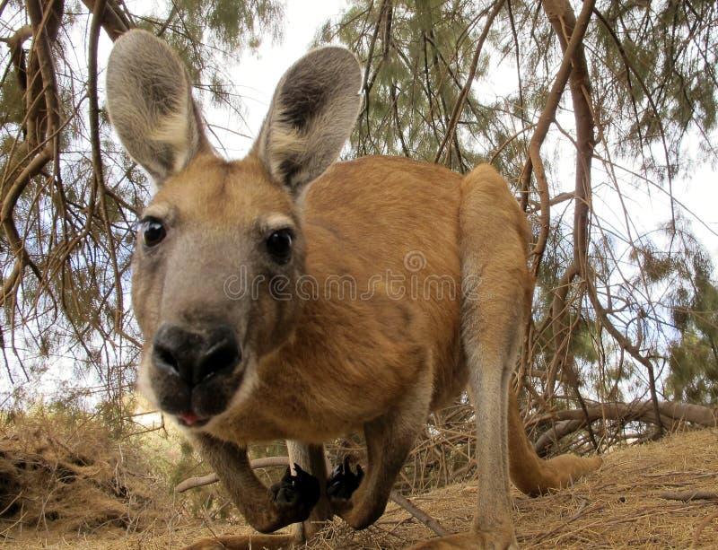 Australien känguru arkivbilder