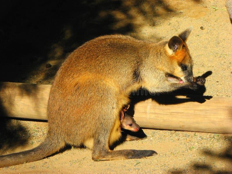 Australien kängurur New South Wales arkivbilder
