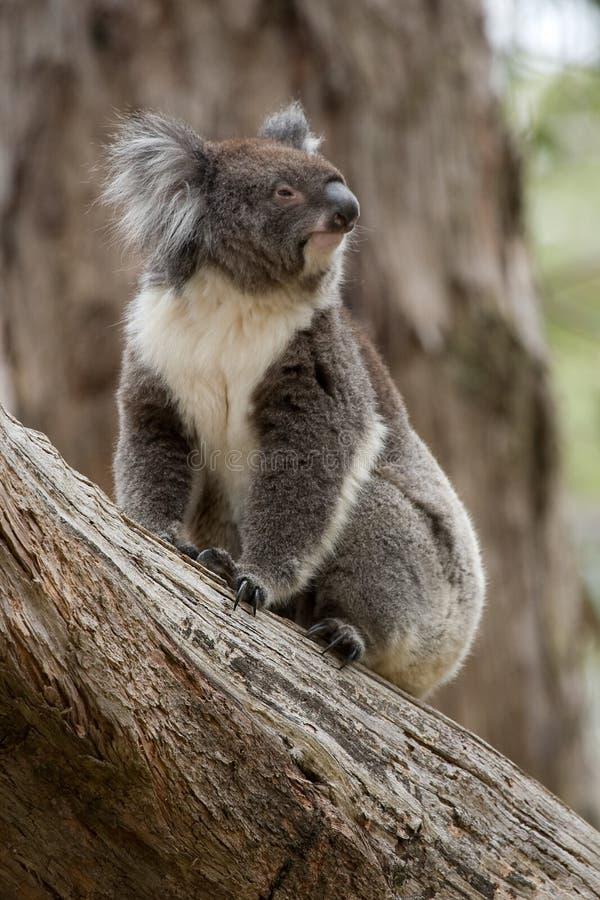Australien koala royaltyfri fotografi